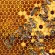 Close up view of the working bees on honeycomb — Stock Photo #61245415
