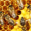 Close up view of the working bees on honeycomb — Stock Photo #61245565