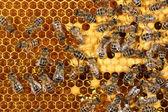 Petek üzerinde çalışan arı görünümü kadar yakın — Stok fotoğraf