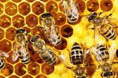 Zamknąć widok pracy pszczół na plaster miodu — Zdjęcie stockowe