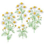 Wild chamomile bunches set. — Wektor stockowy