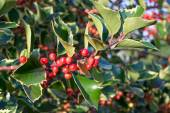 Holly leaf and berry — Stock Photo