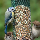 Blue tit on bird feeder — Stockfoto