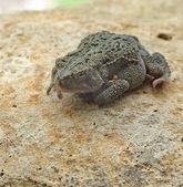 American Toad, Anaxyrus americanus — Stock Photo