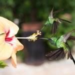 Two male Cuban emerald hummingbirds (Chlorostilbon ricordii) hov — Stock Photo #63434443