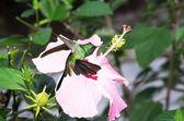 Male Cuban emerald hummingbird(Chlorostilbon ricordii) hovering — Stock Photo