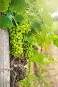 Beautiful vineyards in Chianti, Italy — Stock Photo