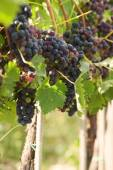 Autumn grapes growing in the warm sun — Stock Photo