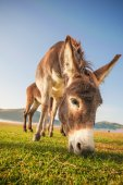 Donkey eating the grass in the foothills of the Monte Sibillini  — Stock Photo