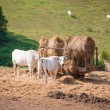 White cows grazing in the meadow, type the Chianina — Stock Photo #53892797