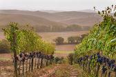 Vineyard at sunrise in the Tuscan fog. — Stock Photo