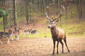 Powerful adult red deer stag in natural environment autumn fall — Stock Photo