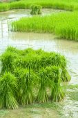 Growing rice in farm — Stock Photo