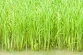 Growing rice in farm — Stock Photo