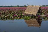 lotus in nature — Stock Photo