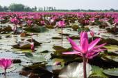 自然の中でロータス — ストック写真