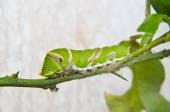 Green caterpillar on tree — Stock Photo