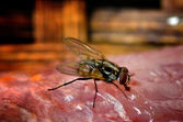 House Fly on meet close-up  — Stock Photo