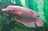 Nile or tilapia fish in water tank — Stock Photo