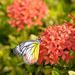 Close up of the Plain Tiger butterfly perching on red Ixora flow — Stock Photo #58598957