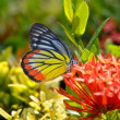 Close up of the Plain Tiger butterfly perching on red Ixora flow — Stock Photo #59194471