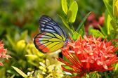 Close up of the Plain Tiger butterfly perching on red Ixora flow — Stock Photo