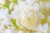 Group of white  jasmine — Stock Photo