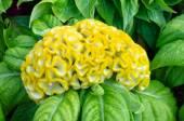 Yellow Cockscomb flower — Stock Photo