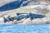 Seals sunbathing — Stock Photo