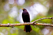 Common Blackbird — Stock Photo