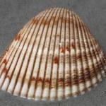 Sea shell — Stock Photo #72947105