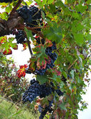 Vineyard, grape harvest. — Stock Photo