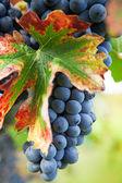 Vineyard, grape harvest in Italy, Piedmont. — Stock Photo