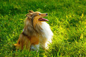 Sheltie dog — Stock Photo