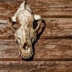 ������, ������: Canine skull closeup