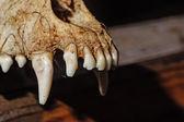 Canine skull closeup — Stock Photo