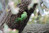 Feral Rose-ringed Parakeet (psitticula kraneri) in West London — Stock Photo