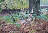 Stag red deer wild England- Cervus elaphus — Stock Photo