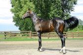 Racehorse ambler Ahal-Teke  breed — Stock Photo