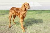 Purebred dog breed Irish setter — Stock Photo