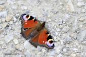 Butterfly Peacock eyes basking in the sunlight — Foto de Stock