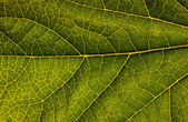 Macro of green leaf — Stock Photo