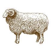Vector illustration of engraving ram — Stock Vector
