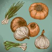 Engraving illustration of onions — Vector de stock