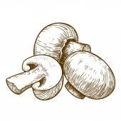 Engraving illustration of tree mushrooms champignons — Stock Vector