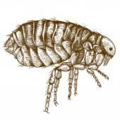 Engraving  antique illustration of flea — Stock Vector