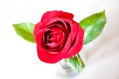 Red roses on background — Stock Photo
