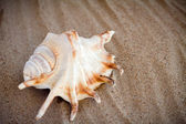 Sea shell with sand as background  — Stock Photo