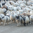 Traditional gathering of sheep in Iceland. — Stock Photo #57261559