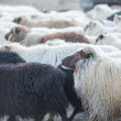 Traditional gathering of sheep in Iceland. — Stock Photo #57262333